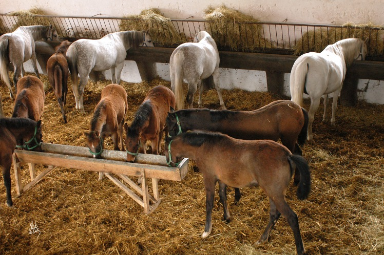 MARES & FOALS / MICHALOW / STABLE