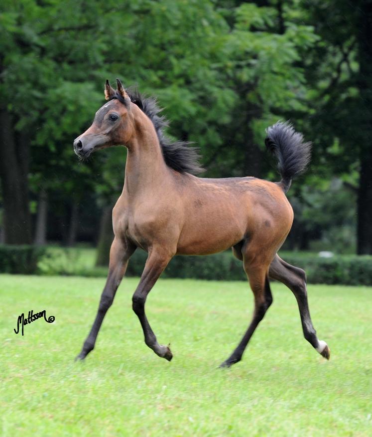 15 - Perfirka's foal, Perfinka