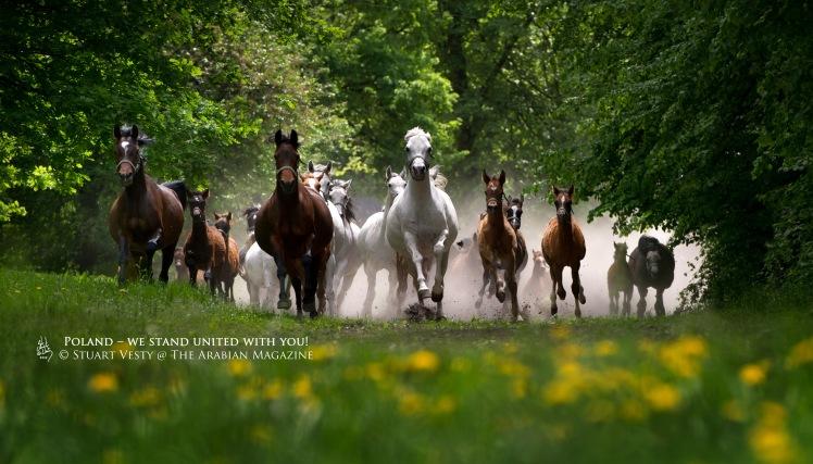 MARES & FOALS RUNNING TO PASTURE / JANOW PODLASKI