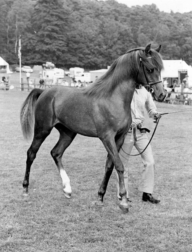The yearling Maleik el Kheil at the 1980 British National Championships at Ascot. Credit Maxwell archives
